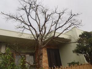 モミジの落葉した樹
