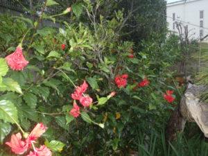 ハイビスカス赤い花