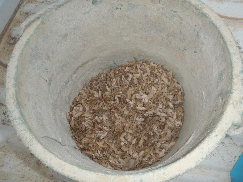 バケツに入れたモミジの種