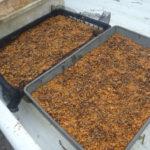 鹿沼土へモミジの種を撒く