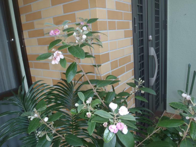 テンニンカの花