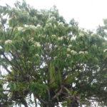 枝先一杯のイジュの花