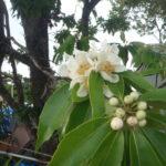 白い花が枝先に咲く