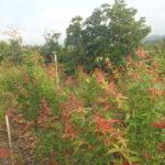 暖地性のモミジの畑