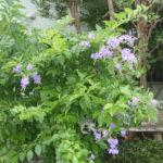 タイワンレンギョの花