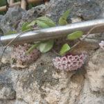 サクラランの花