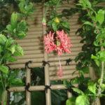 風鈴ブッソウゲの花