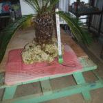 琉球石灰岩に植えたソテツ